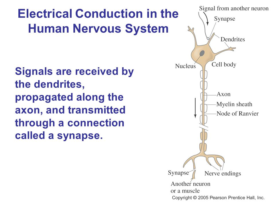 Electrical Conduction in the Human Nervous System Signals are received by the dendrites, propagated along the axon, and transmitted through a connection called a synapse.