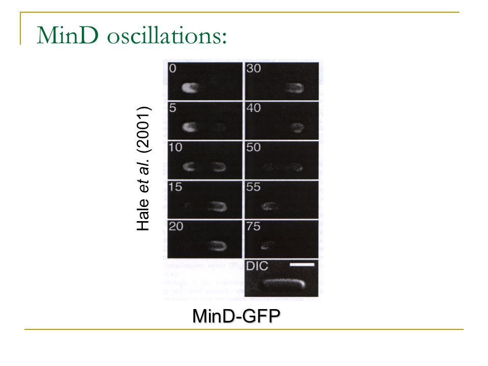 MinD oscillations: Hale et al. (2001) MinD-GFP