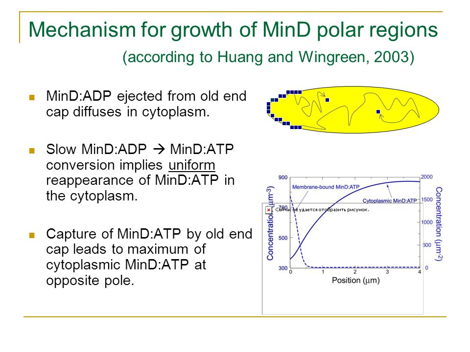 Mechanism for growth of MinD polar regions (according to Huang and Wingreen, 2003) MinD:ADP ejected from old end cap diffuses in cytoplasm.