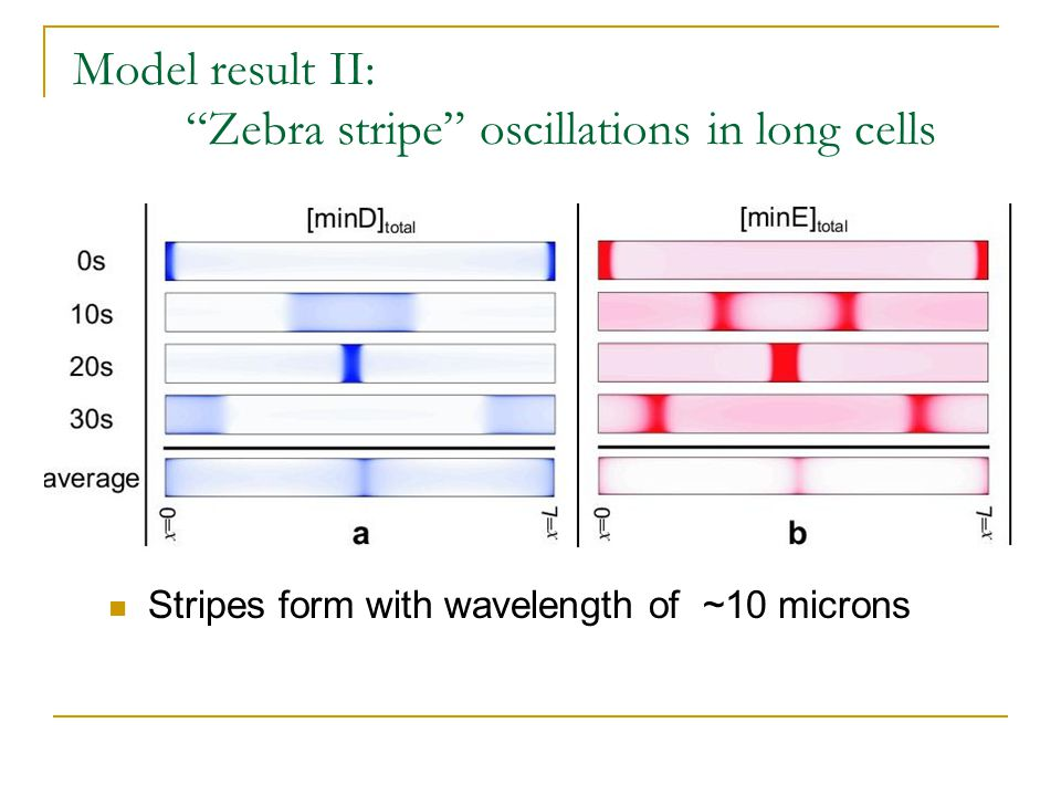 Model result II: Zebra stripe oscillations in long cells Stripes form with wavelength of ~10 microns