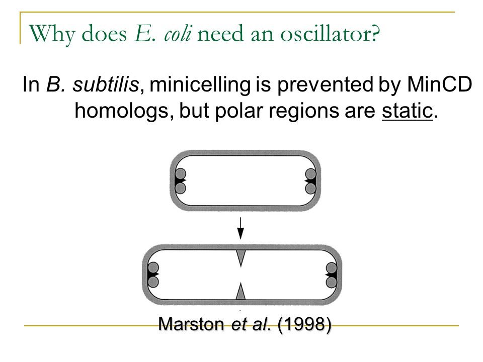Why does E. coli need an oscillator? In B. subtilis, minicelling is prevented by MinCD homologs, but polar regions are static. Marston et al. (1998)