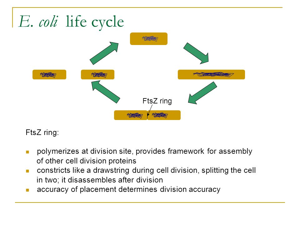 E. coli life cycle FtsZ ring: polymerizes at division site, provides framework for assembly of other cell division proteins constricts like a drawstri