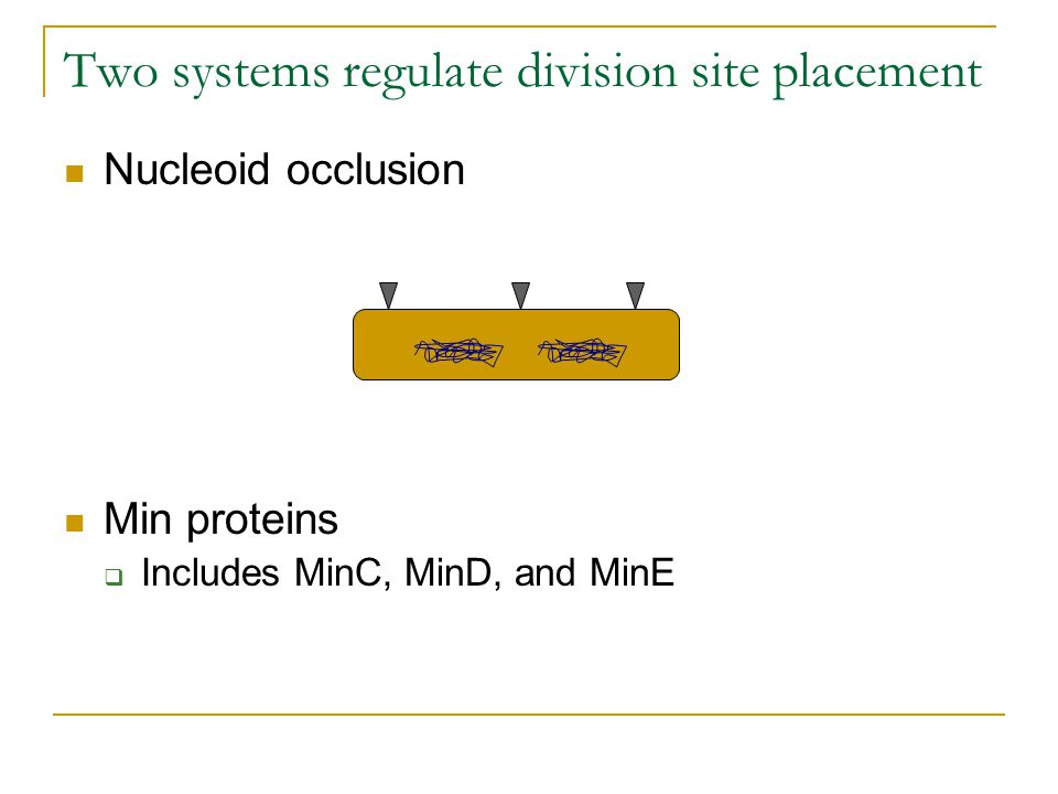 Two systems regulate division site placement Nucleoid occlusion Min proteins  Includes MinC, MinD, and MinE