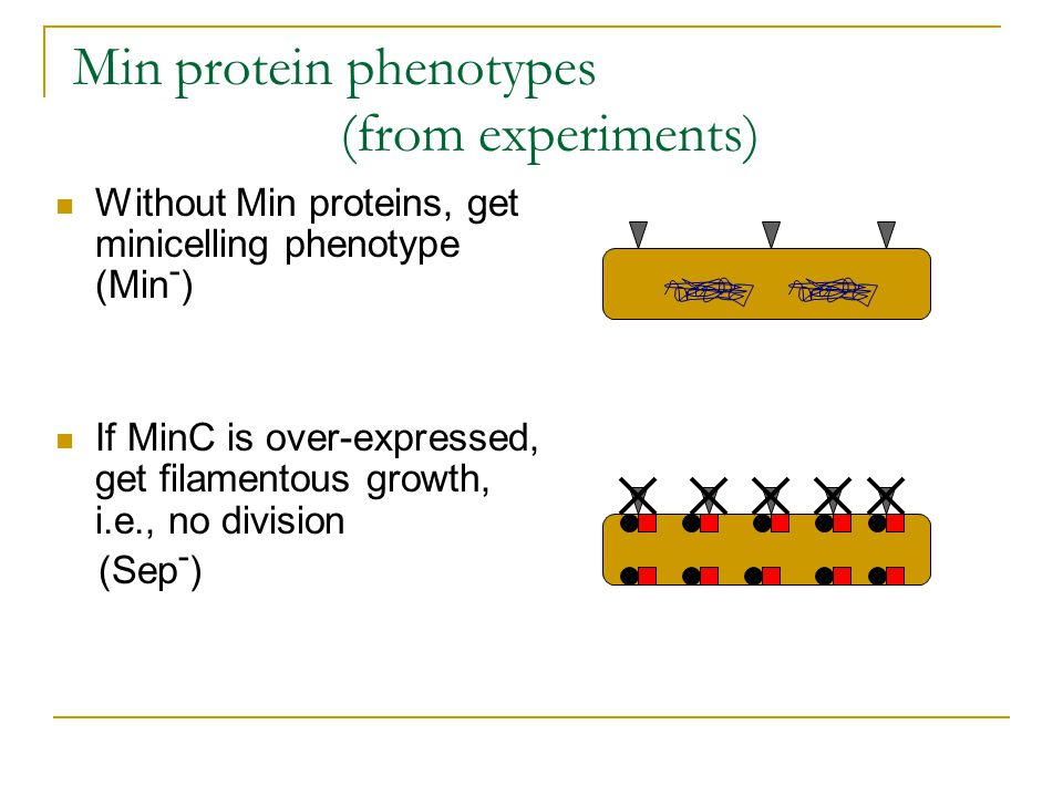 Min protein phenotypes (from experiments) Without Min proteins, get minicelling phenotype (Min - ) If MinC is over-expressed, get filamentous growth, i.e., no division (Sep - )