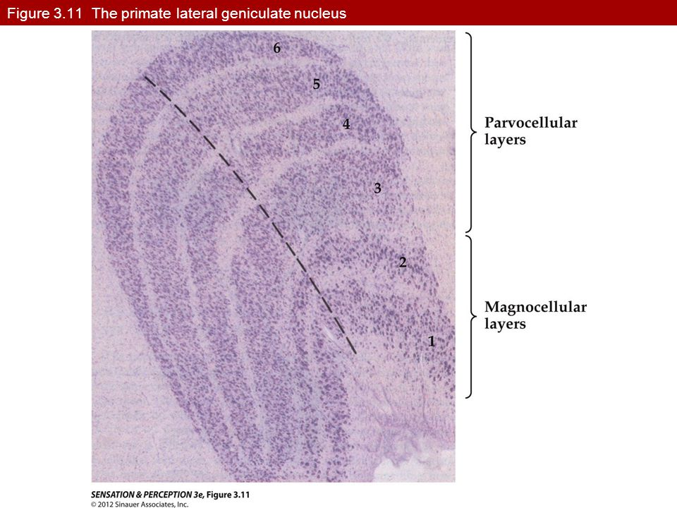 Figure 3.11 The primate lateral geniculate nucleus