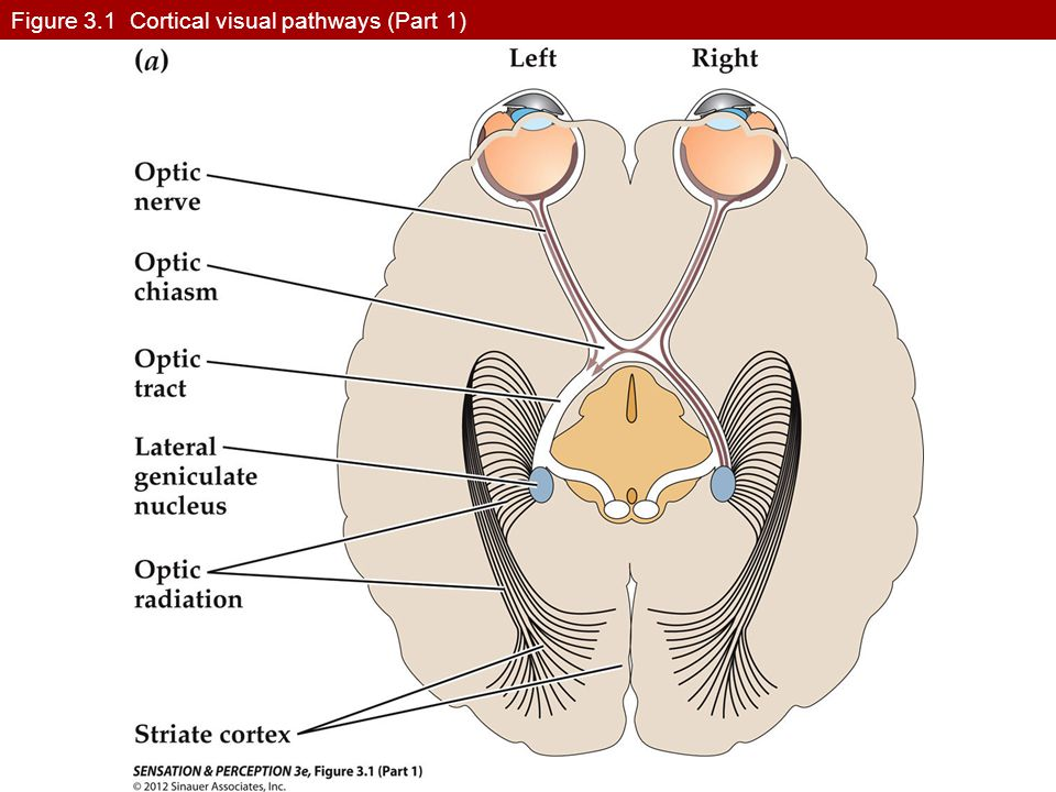 Figure 3.1 Cortical visual pathways (Part 1)