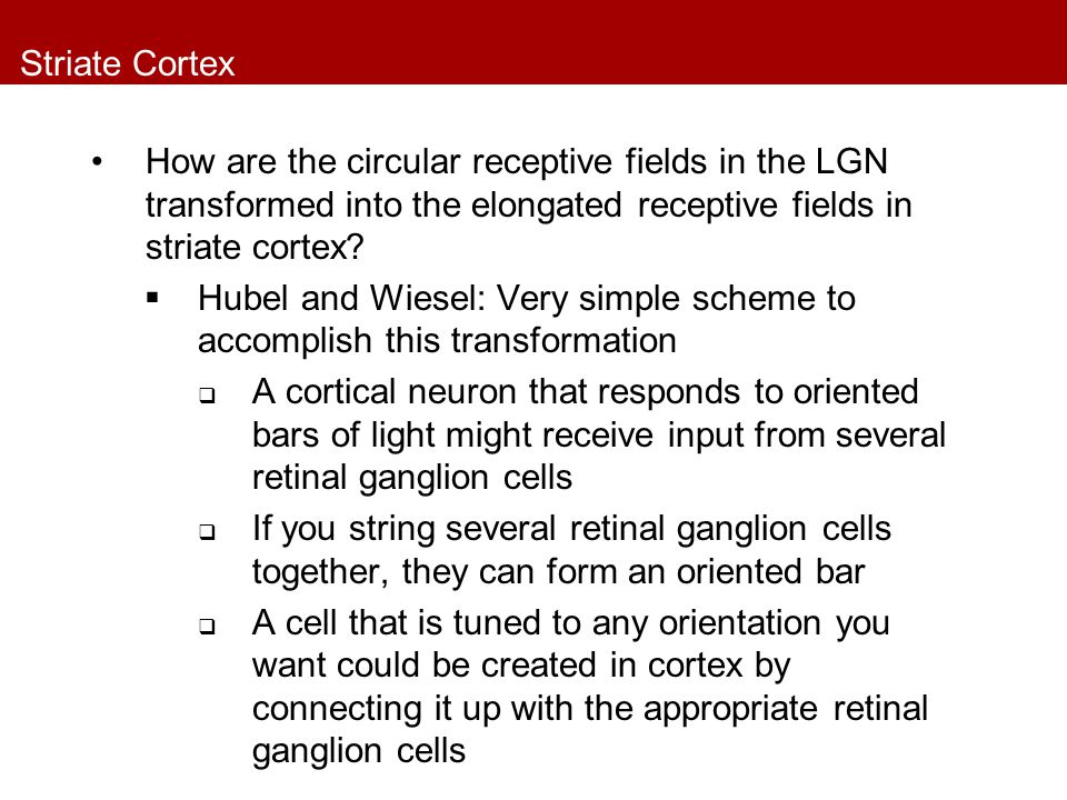 Striate Cortex How are the circular receptive fields in the LGN transformed into the elongated receptive fields in striate cortex.