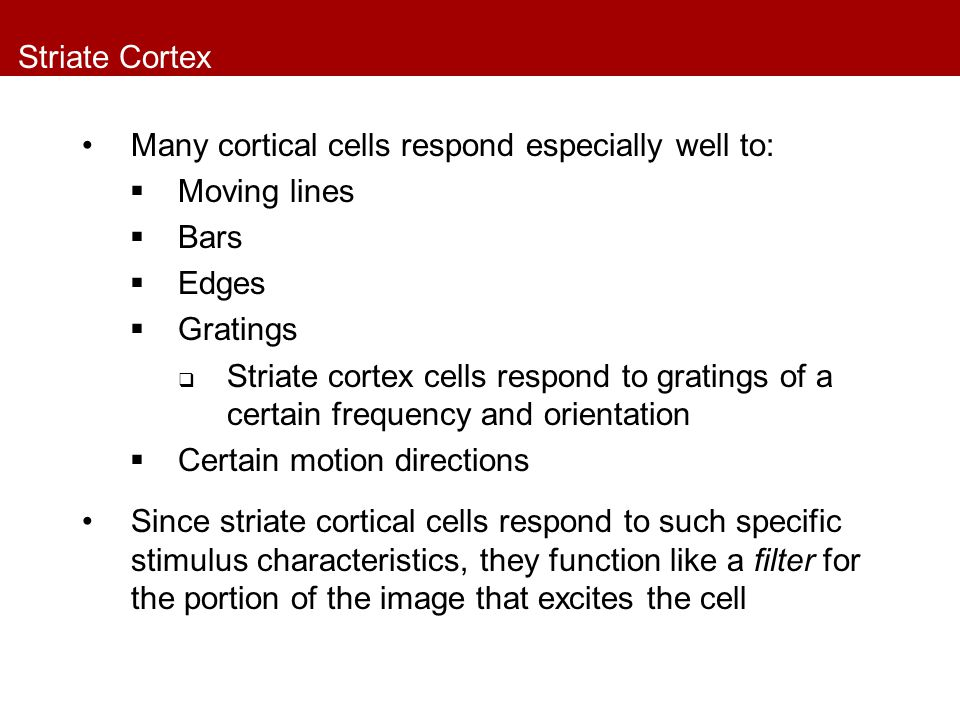 Striate Cortex Many cortical cells respond especially well to:  Moving lines  Bars  Edges  Gratings  Striate cortex cells respond to gratings of a certain frequency and orientation  Certain motion directions Since striate cortical cells respond to such specific stimulus characteristics, they function like a filter for the portion of the image that excites the cell