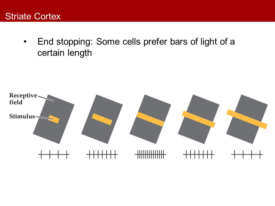 Striate Cortex End stopping: Some cells prefer bars of light of a certain length
