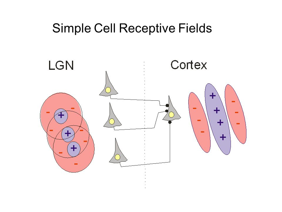 Simple Cell Receptive Fields