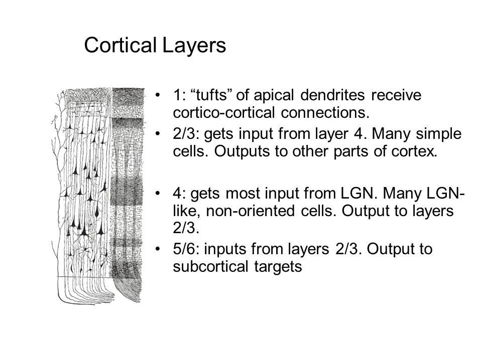 "Cortical Layers 1: ""tufts"" of apical dendrites receive cortico-cortical connections. 2/3: gets input from layer 4. Many simple cells. Outputs to other"