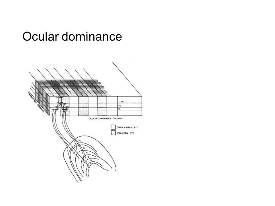 Ocular dominance