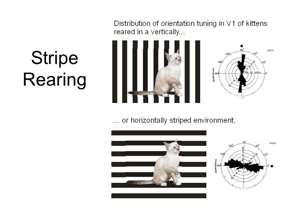 Stripe Rearing