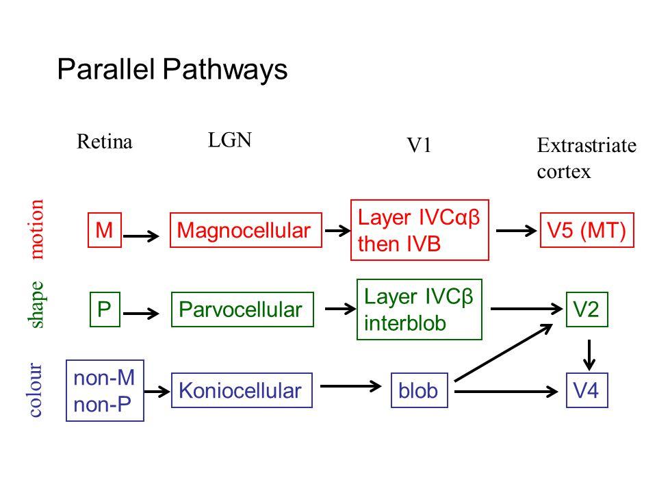 Parallel Pathways Retina M LGN V1Extrastriate cortex Magnocellular Layer IVCαβ then IVB V5 (MT) PParvocellular Layer IVCβ interblob V2 non-M non-P KoniocellularblobV4 motion shape colour