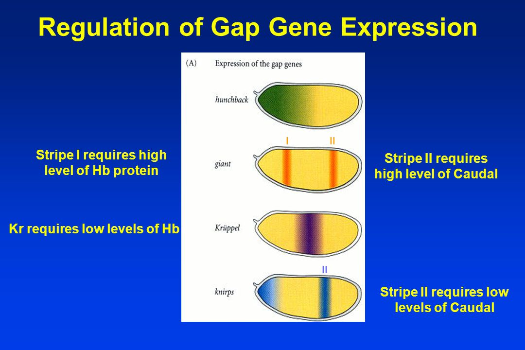Regulation of Gap Gene Expression Stripe I requires high level of Hb protein Stripe II requires high level of Caudal Kr requires low levels of Hb Stripe II requires low levels of Caudal II I