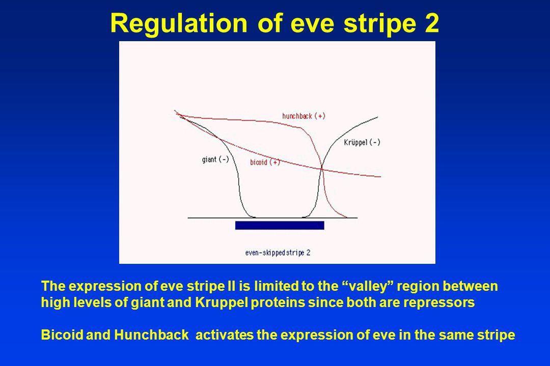 The expression of eve stripe II is limited to the valley region between high levels of giant and Kruppel proteins since both are repressors Bicoid and Hunchback activates the expression of eve in the same stripe Regulation of eve stripe 2