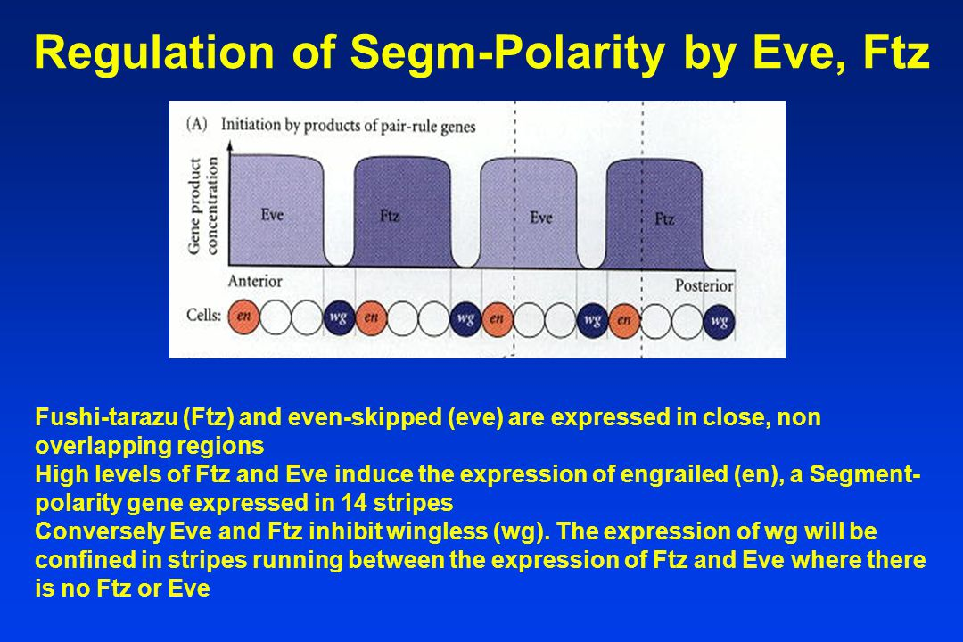 Regulation of Segm-Polarity by Eve, Ftz Fushi-tarazu (Ftz) and even-skipped (eve) are expressed in close, non overlapping regions High levels of Ftz and Eve induce the expression of engrailed (en), a Segment- polarity gene expressed in 14 stripes Conversely Eve and Ftz inhibit wingless (wg).