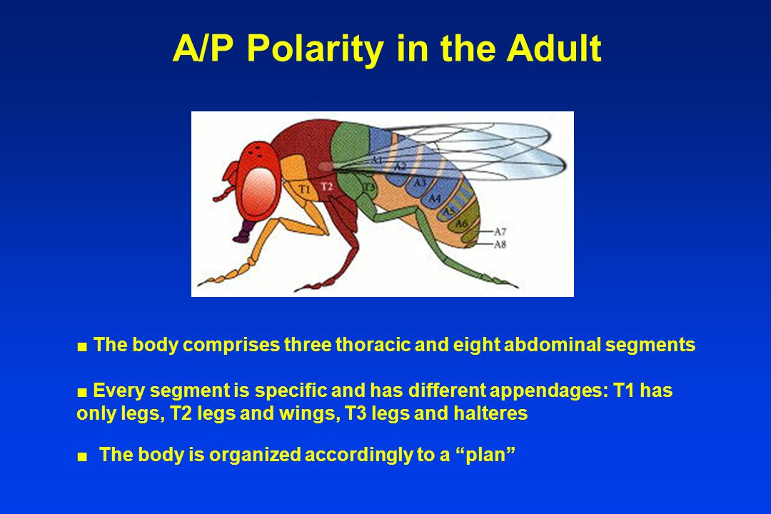 A/P Polarity in the Adult ■ The body comprises three thoracic and eight abdominal segments ■ Every segment is specific and has different appendages: T1 has only legs, T2 legs and wings, T3 legs and halteres ■ The body is organized accordingly to a plan