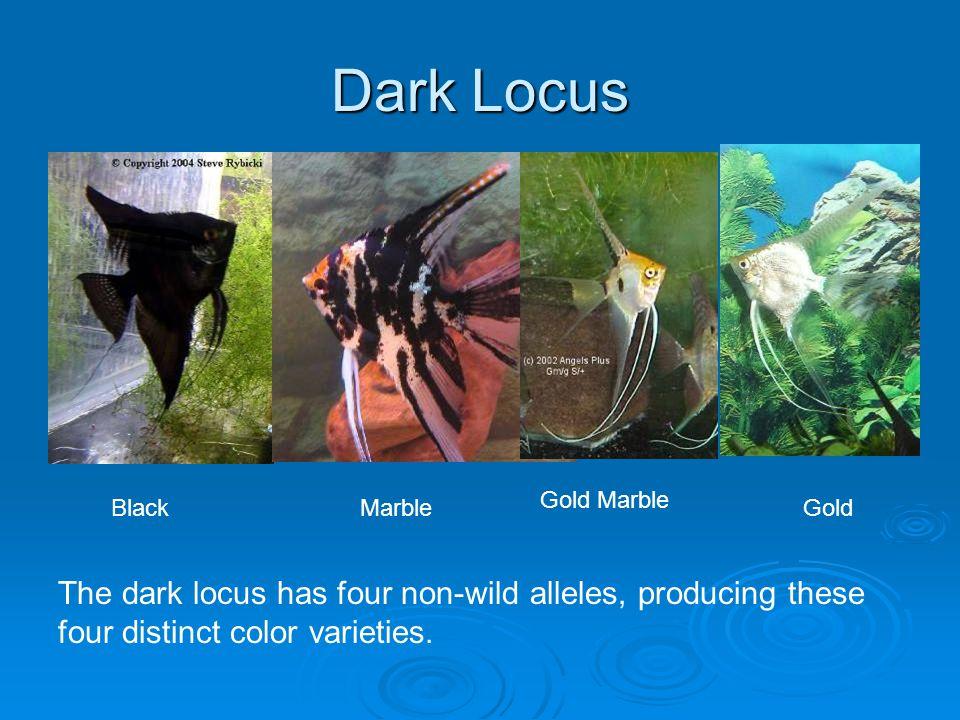Dark Locus BlackMarble Gold Marble Gold The dark locus has four non-wild alleles, producing these four distinct color varieties.