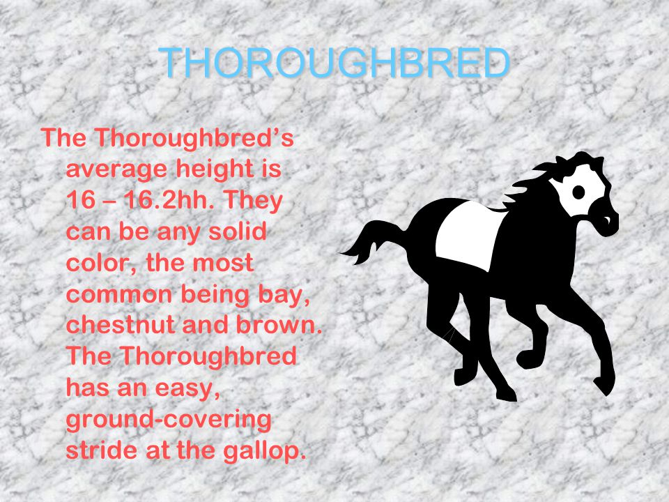 THOROUGHBRED With its well-sloped shoulders, powerful hindquarters and long limbs.