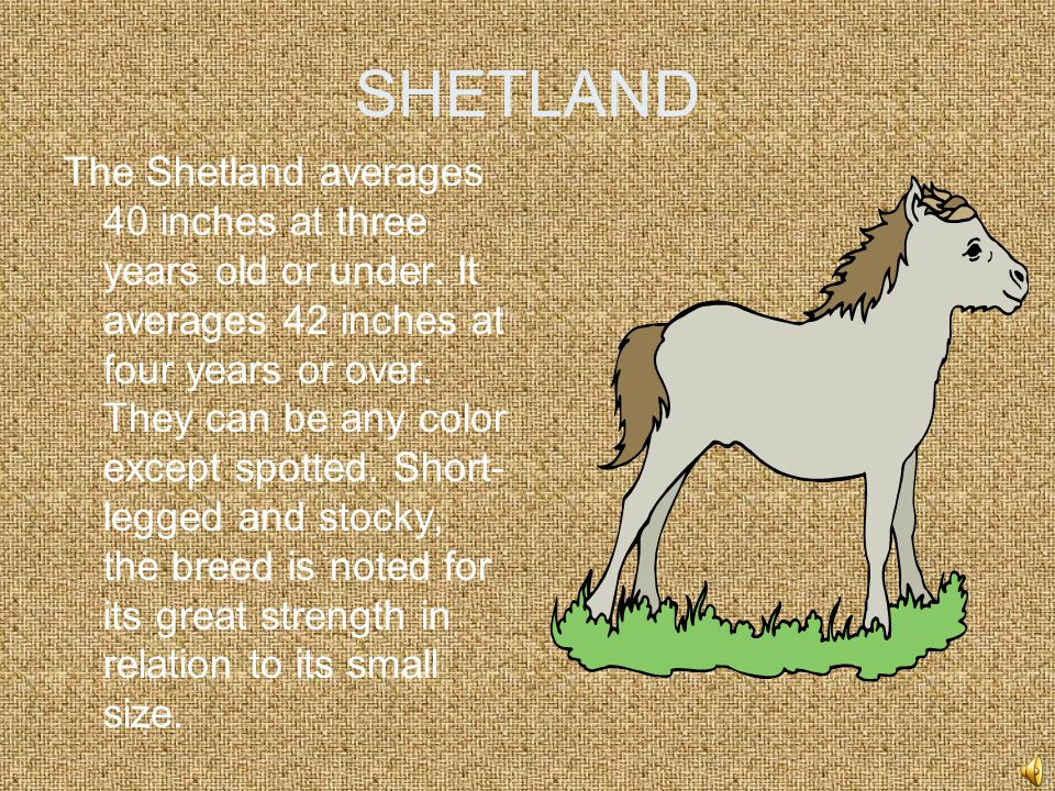 SHETLAND The Shetland averages 40 inches at three years old or under.