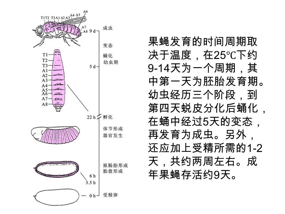 果蝇发育的时间周期取 决于温度,在 25 ℃下约 9-14 天为一个周期,其 中第一天为胚胎发育期。 幼虫经历三个阶段,到 第四天蜕皮分化后蛹化, 在蛹中经过 5 天的变态, 再发育为成虫。另外, 还应加上受精所需的 1-2 天,共约两周左右。成 年果蝇存活约 9 天。