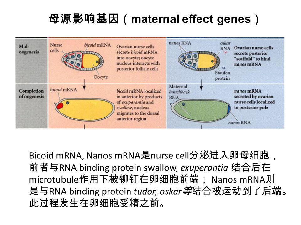 Bicoid mRNA, Nanos mRNA 是 nurse cell 分泌进入卵母细胞, 前者与 RNA binding protein swallow, exuperantia 结合后在 microtubule 作用下被铆钉在卵细胞前端; Nanos mRNA 则 是与 RNA binding protein tudor, oskar 等结合被运动到了后端。 此过程发生在卵细胞受精之前。 母源影响基因( maternal effect genes )