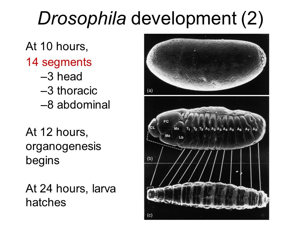 Drosophila development (2) At 10 hours, 14 segments –3 head –3 thoracic –8 abdominal At 12 hours, organogenesis begins At 24 hours, larva hatches