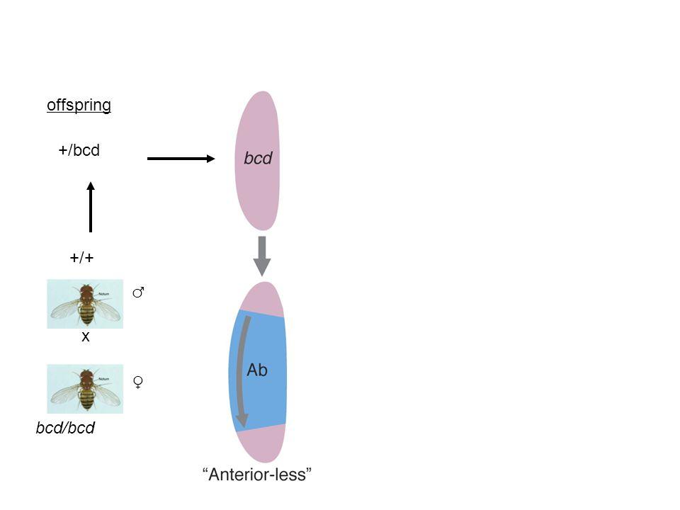 x bcd/bcd ♂ ♀ +/+ +/bcd offspring