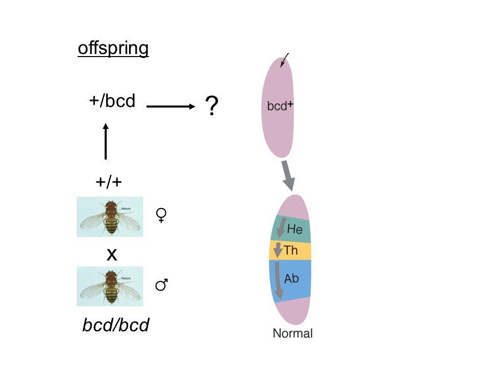 x bcd/bcd ♂ ♀ +/+ +/bcd offspring +