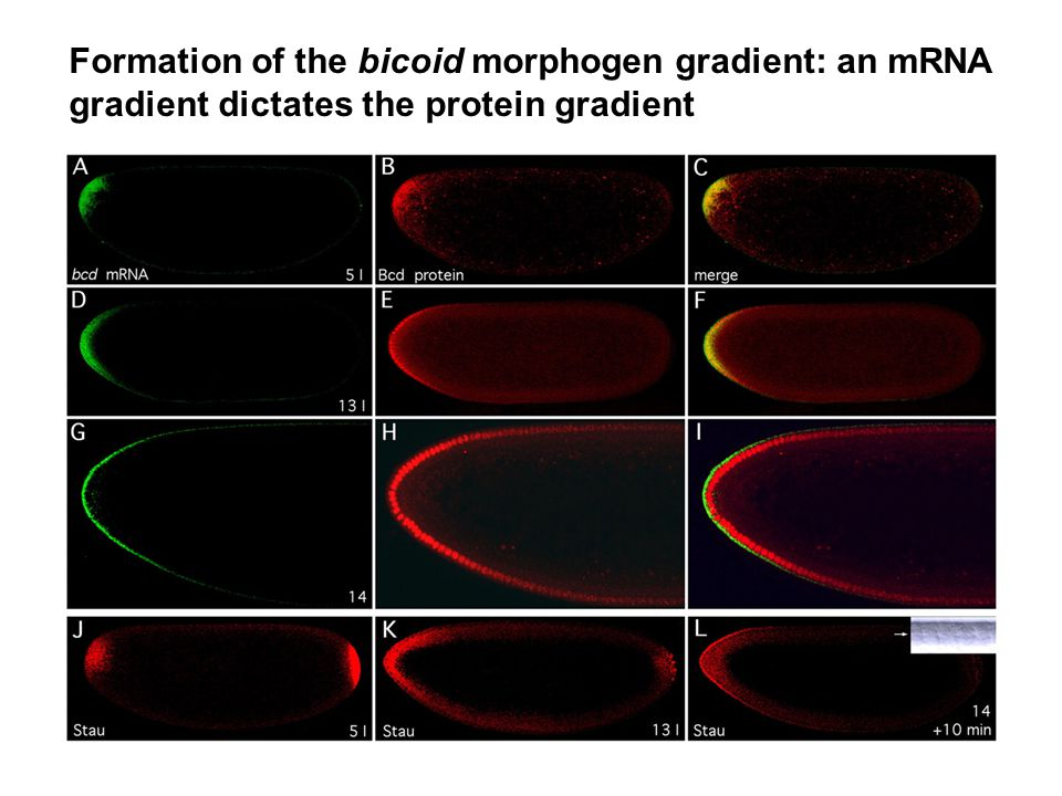 Formation of the bicoid morphogen gradient: an mRNA gradient dictates the protein gradient