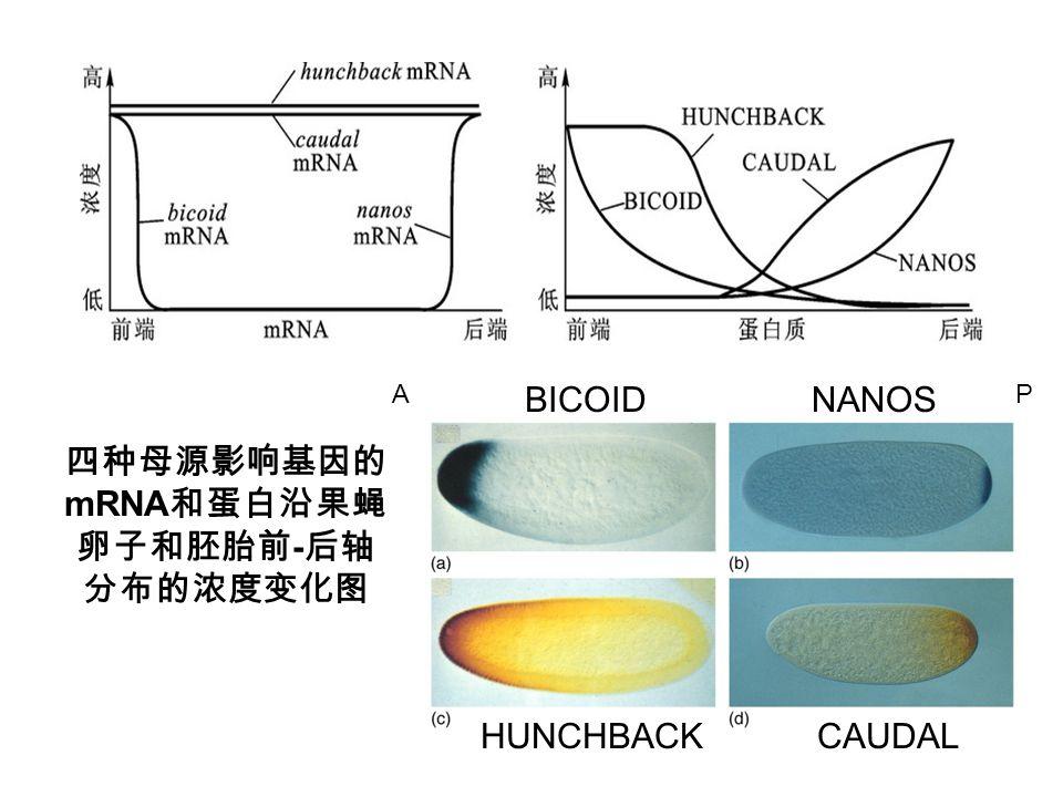 四种母源影响基因的 mRNA 和蛋白沿果蝇 卵子和胚胎前 - 后轴 分布的浓度变化图 AP BICOID CAUDALHUNCHBACK NANOS
