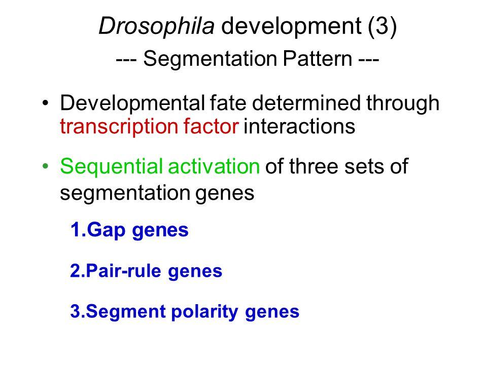 Developmental fate determined through transcription factor interactions Sequential activation of three sets of segmentation genes 1.Gap genes 2.Pair-rule genes 3.Segment polarity genes Drosophila development (3) --- Segmentation Pattern ---