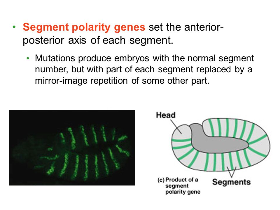 Segment polarity genes set the anterior- posterior axis of each segment.