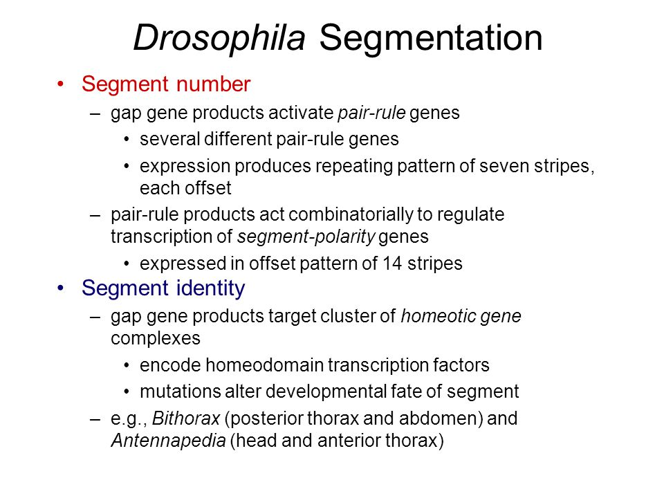 Drosophila Segmentation Segment number –gap gene products activate pair-rule genes several different pair-rule genes expression produces repeating pattern of seven stripes, each offset –pair-rule products act combinatorially to regulate transcription of segment-polarity genes expressed in offset pattern of 14 stripes Segment identity –gap gene products target cluster of homeotic gene complexes encode homeodomain transcription factors mutations alter developmental fate of segment –e.g., Bithorax (posterior thorax and abdomen) and Antennapedia (head and anterior thorax)