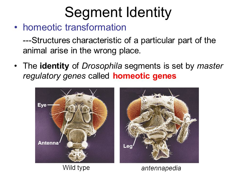 Segment Identity The identity of Drosophila segments is set by master regulatory genes called homeotic genes Eye Antenna Leg Wild type antennapedia homeotic transformation ---Structures characteristic of a particular part of the animal arise in the wrong place.