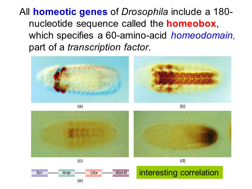 All homeotic genes of Drosophila include a 180- nucleotide sequence called the homeobox, which specifies a 60-amino-acid homeodomain, part of a transcription factor.