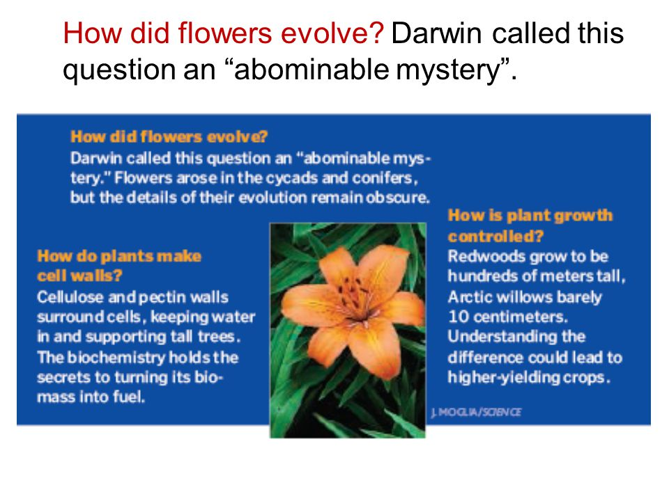 How did flowers evolve Darwin called this question an abominable mystery .