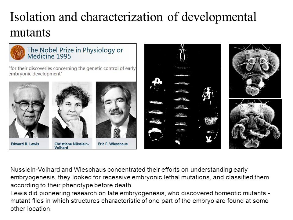 Isolation and characterization of developmental mutants Nusslein-Volhard and Wieschaus concentrated their efforts on understanding early embryogenesis, they looked for recessive embryonic lethal mutations, and classified them according to their phenotype before death.
