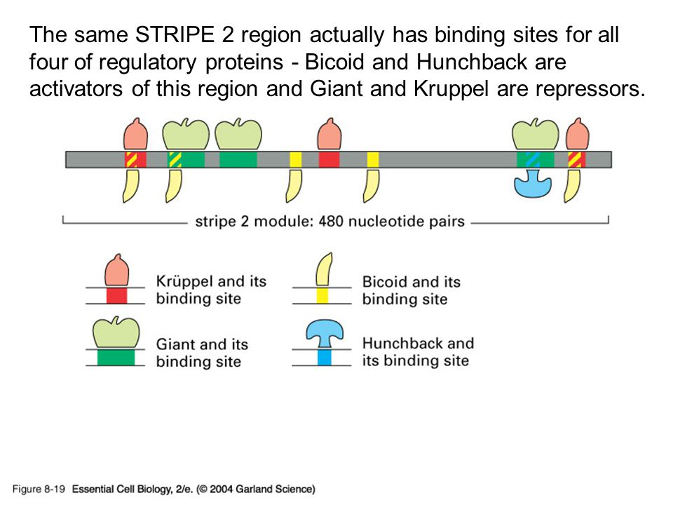 08_19_eve.stripe.2.jpg The same STRIPE 2 region actually has binding sites for all four of regulatory proteins - Bicoid and Hunchback are activators of this region and Giant and Kruppel are repressors.