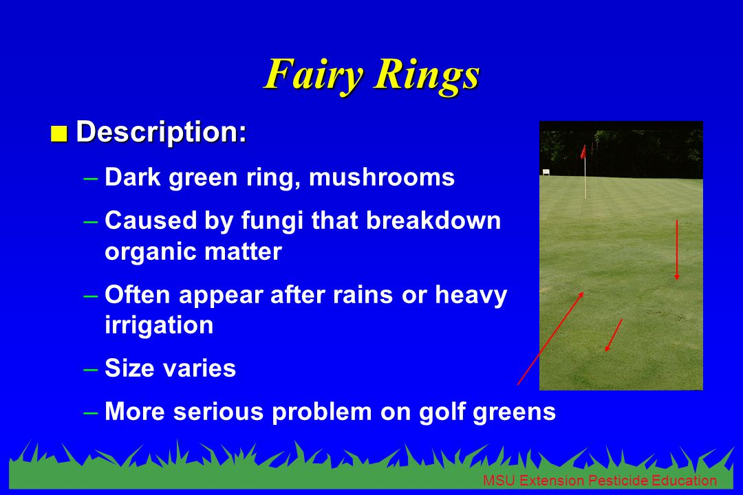 MSU Extension Pesticide Education Fairy Rings n Description: –Dark green ring, mushrooms –Caused by fungi that breakdown organic matter –Often appear after rains or heavy irrigation –Size varies –More serious problem on golf greens