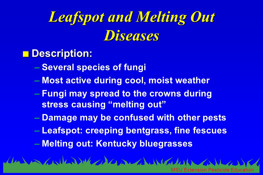 MSU Extension Pesticide Education Leafspot and Melting Out Diseases n Description: –Several species of fungi –Most active during cool, moist weather –Fungi may spread to the crowns during stress causing melting out –Damage may be confused with other pests –Leafspot: creeping bentgrass, fine fescues –Melting out: Kentucky bluegrasses