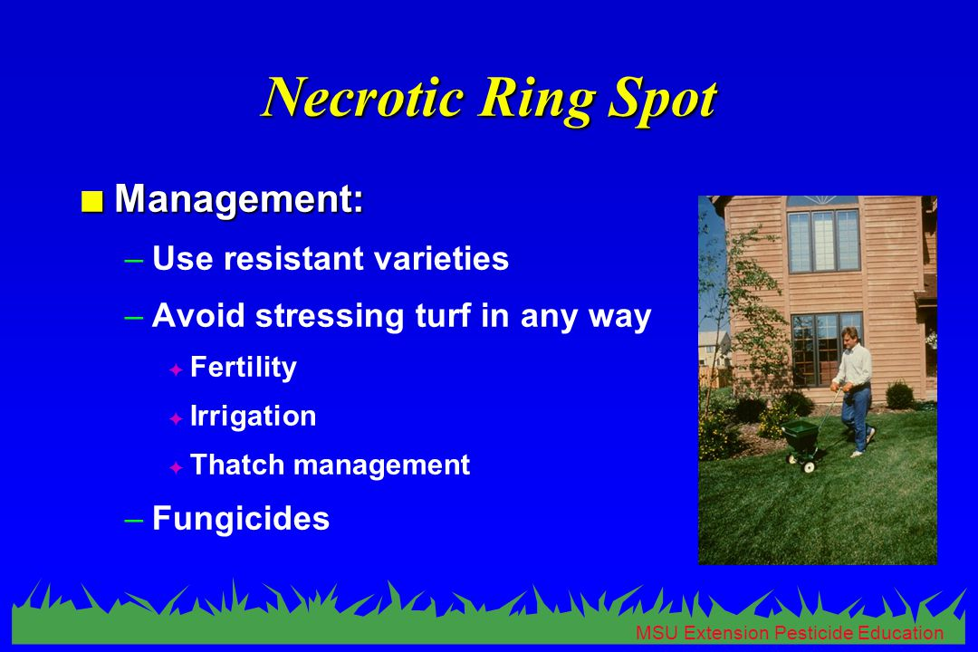 MSU Extension Pesticide Education Necrotic Ring Spot n Management: –Use resistant varieties –Avoid stressing turf in any way F Fertility F Irrigation F Thatch management –Fungicides
