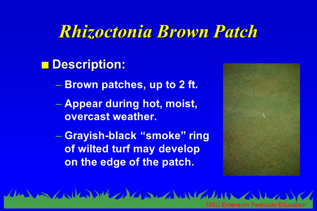 MSU Extension Pesticide Education Rhizoctonia Brown Patch n Description: –Brown patches, up to 2 ft.
