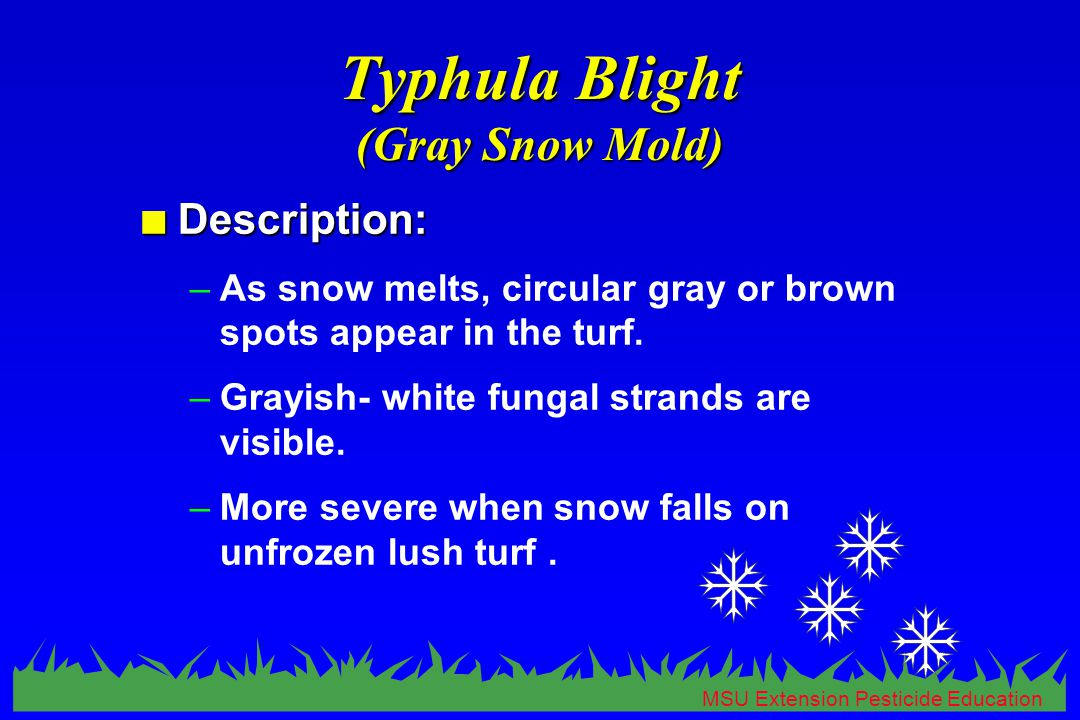 MSU Extension Pesticide Education Typhula Blight (Gray Snow Mold) n Description: –As snow melts, circular gray or brown spots appear in the turf.