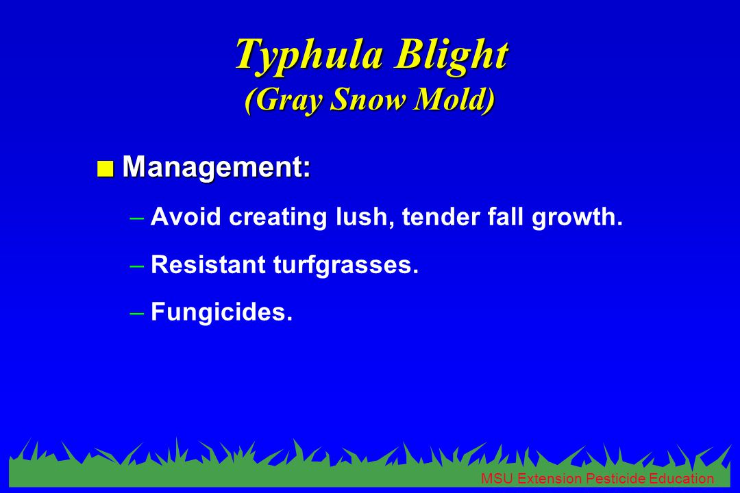 MSU Extension Pesticide Education Typhula Blight (Gray Snow Mold) n Management: –Avoid creating lush, tender fall growth.