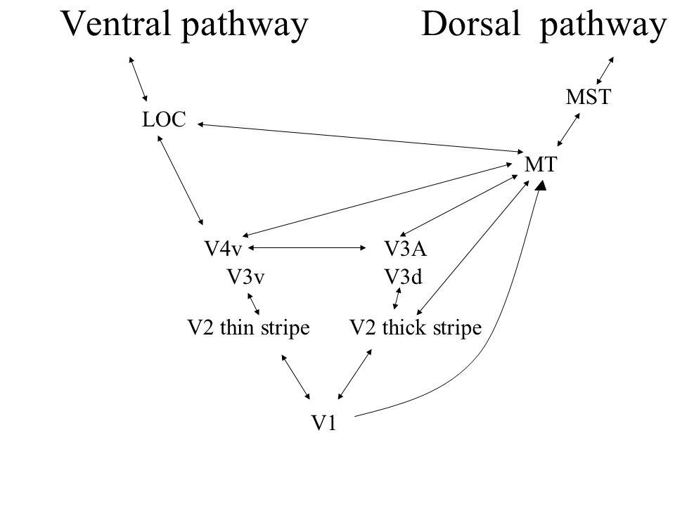 Ventral pathway Dorsal pathway V1 V2 thick stripe V3A MT V2 thin stripe V4v MST LOC V3vV3d
