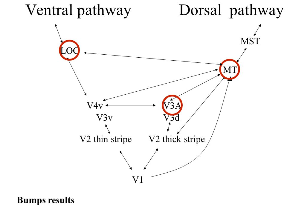 Ventral pathway Dorsal pathway V1 V2 thick stripe V3A MT V2 thin stripe V4v MST LOC V3vV3d Bumps results