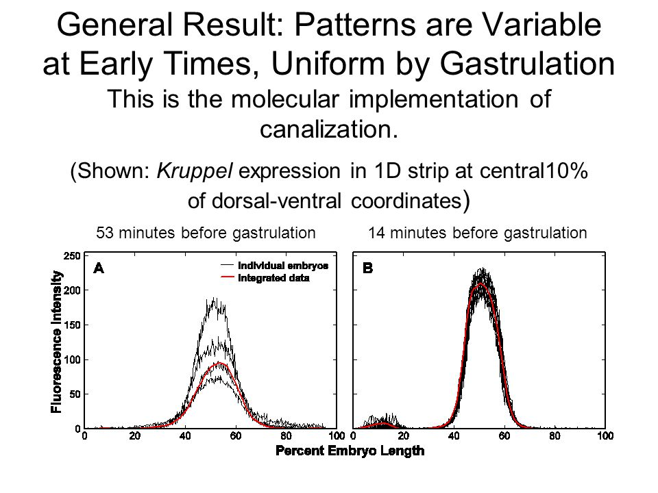 General Result: Patterns are Variable at Early Times, Uniform by Gastrulation This is the molecular implementation of canalization.