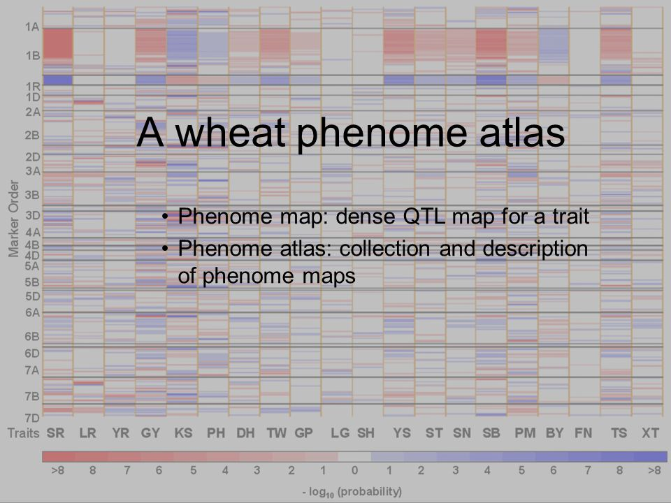 A wheat phenome atlas Phenome map: dense QTL map for a trait Phenome atlas: collection and description of phenome maps